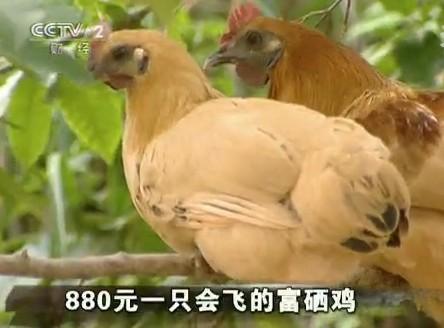 生财有道:880元一只会飞的芙蓉凰富硒鸡
